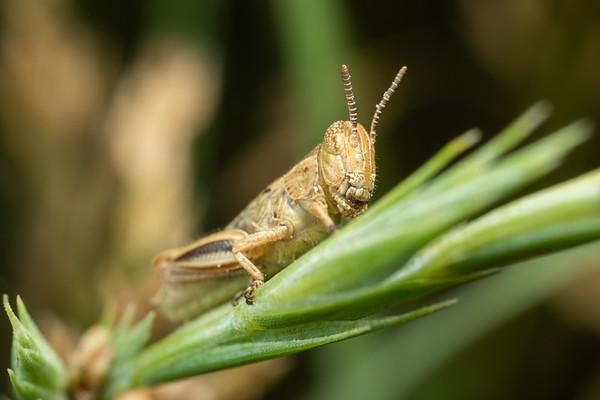 Tiny Brown Grasshopper on Grass