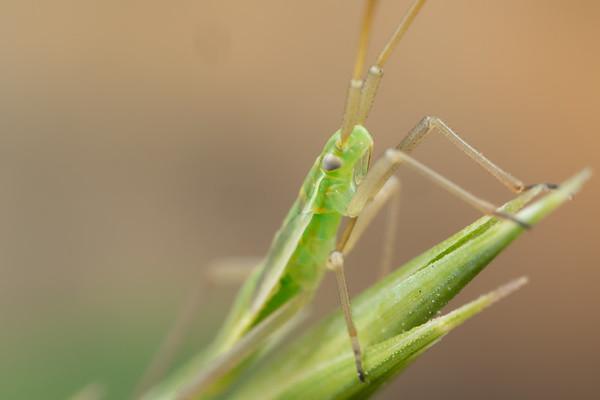 Small Green Asassin Bug Nymph