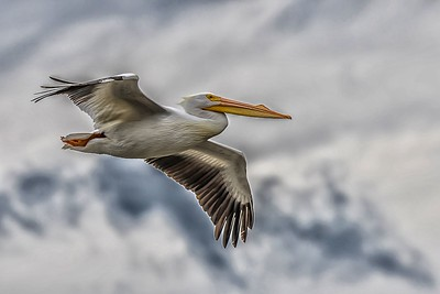 PELICAN by Bill J Boyd