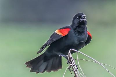 RED-WINGED BLACKBIRD - by Bill J Boyd