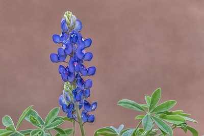BLUEBONNET - by Bill J Boyd