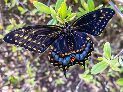 BLACK SWALLOWTAIL - by Bill J Boyd