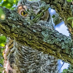 OWLET - by Bill J Boyd