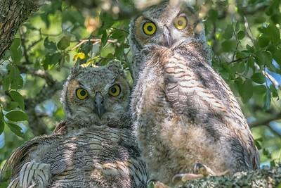 OWLETS - by Bill J Boyd