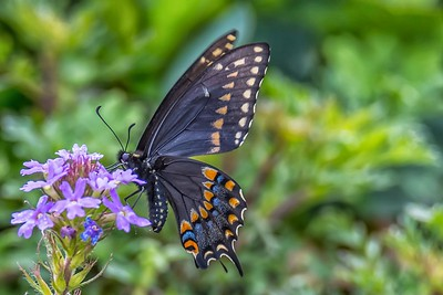BLACK SWALLOWTAIL by Bill J Boyd