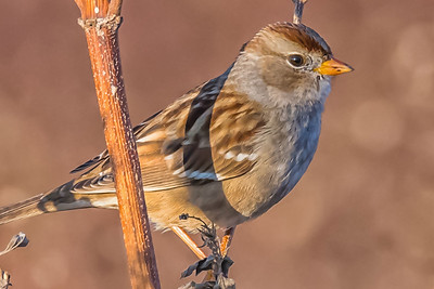 WHITE-CROWNED SPARROW - by Bill J Boyd