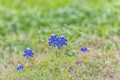 BLUEBONNETS - by Bill J Boyd