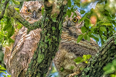 BABY OWLETS - by Bill J boyd