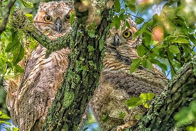 BABY OWLETS - by Bill J boyd