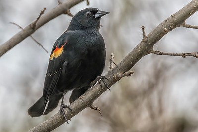 RED WING BLACKBIRD - by Bill J Boyd