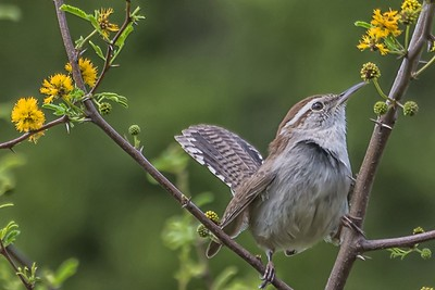 BEWICK WREN - by Bill J Boyd