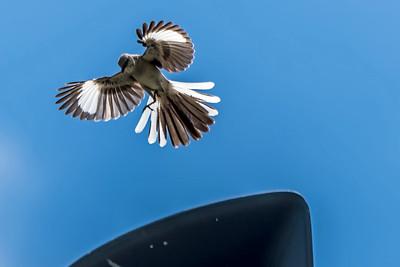 MOCKINGBIRD - by Bill J Boyd