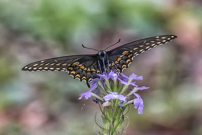 BLACK SWALLOWTAIL by Bill J Boyd