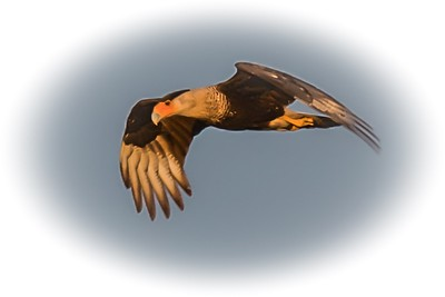 CARACARA - by Bill J Boyd
