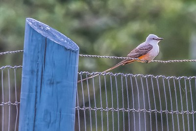 SCISSOR-TAIL FLYCATCHER - by Bill J Boyd