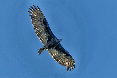 TURKEY VULTURE - by Bill J Boyd