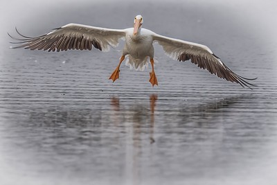 PELICAN LANDING - by Bill J Boyd