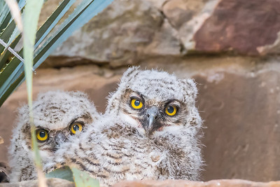 OWLETS - by Bill J Boyd