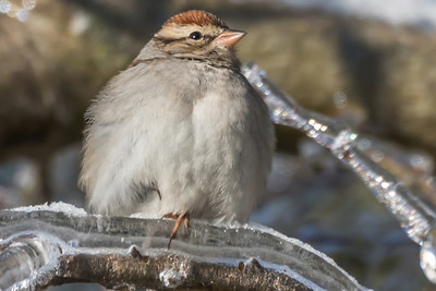 SPARROW ON ICE - by Bill J Boyd