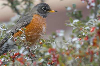 Robin - by Bill J Boyd