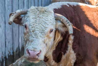 COW - by Bill J Boyd