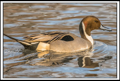 NORTHERN PINTAIL - by Bill J Boyd