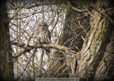 4-5-13   This barred owl flew into the woods and sat as my sister and I were resting from our hike.  We were so excited watching him.  Annette