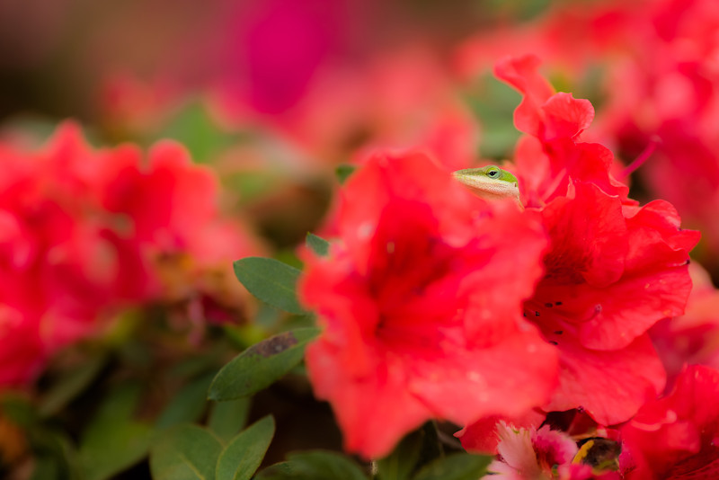 "New Friend, Nacogdoches TX  I made a new friend at the SFA Arboretum yesterday.  I stopped in for a quick shoot before dinner and found this little guy on these red azaleas.  I guess we have the same taste in color!  I also saw a little gray snake slither away at one point, marking the first snake I've seen since moving to East Texas in August.  I hope it doesn't become a regular occurrence, but I'm going to start wearing hiking boots instead of sandals just in case!  For most of my flower photos I've been using the Canon EF 135 f/2 L series lens.  It was one of my first lenses and I still love shooting with it.  I like to use it for portraits whenever I have the space and it was also really useful at the wedding I assisted <a href=""http://www.thesilhouettestudio.com"">Sarah Williams</a> with last week.  So I'm a little torn about buying the Canon EF 100 L series macro lens since it's so close in focal length.  I've gone this long without a macro maybe I can go a little longer!  Critiques are always welcome.  Daily photo: March 23, 2013, taken March 22, 2013"