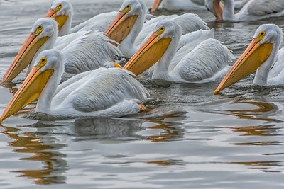 Pelican Fishing Party