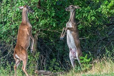 Deer Spat