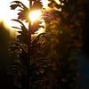 Sunset Flower Stalk