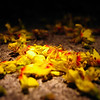 Flamegold Blossoms