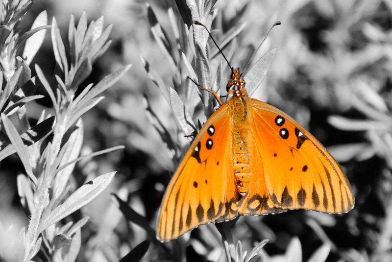 "2/10/09 Some selective color for you today. This lovely orange butterfly was in the botanical gardens, and let me get very close to it. Not as close as my <a href=""http://jawsnap.smugmug.com/gallery/4429824_zbVM5#464778432_YTUVx"">1/30 daily photo</a> of the same insect, but still pretty close for a butterfly."