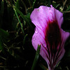 5/24/08<br /> Much like yesterdays photo, I shot a purplish flower petal in some green grass. I did the usual curves/levels adjustments to make it more vivid and less flat. It was a beautiful day today after a clearing storm that brought freak weather to SoCal, but I didn't have my SLR with me and we were looking for a new place to live, so photos weren't the priority. Hopefully it will be clear again tomorrow, but clear air in LA doesn't last too long...