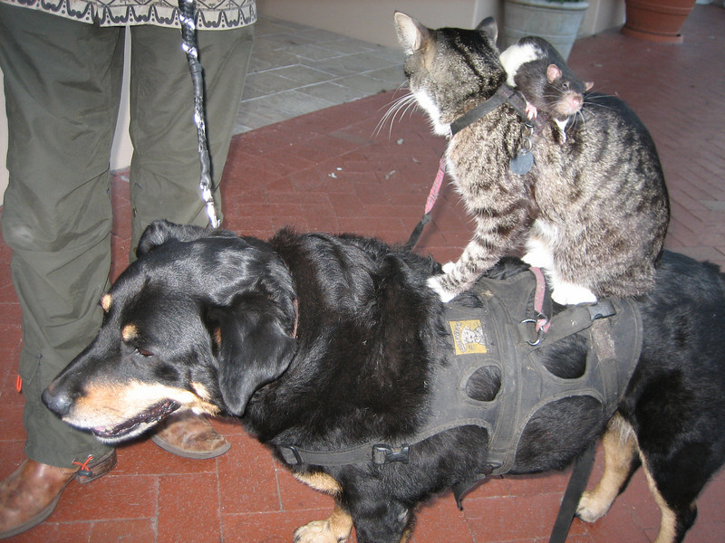 Rat on Cat on Dog