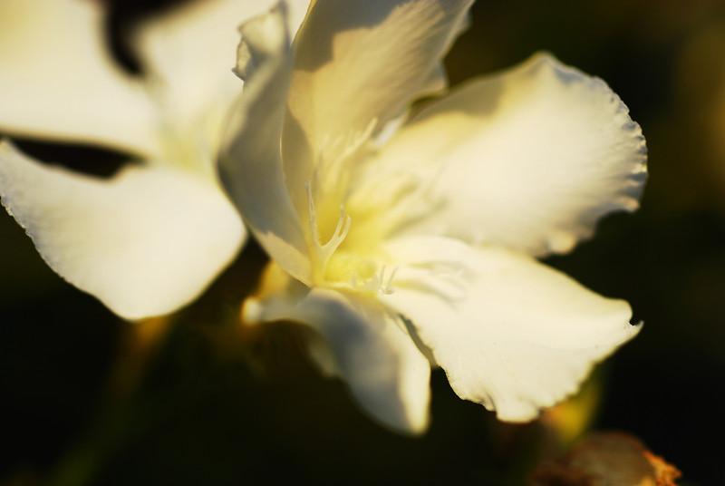 White Oleander Blossoms