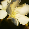 White Oleander Blossoms