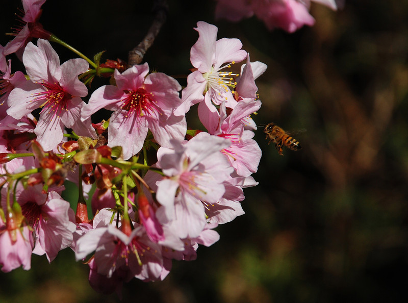 Cherry Blossoms with Bee