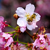 "2/27/09 365 days ago, I took my <a href=""http://jawsnap.smugmug.com/gallery/4429824_zbVM5#265379628_sxHaz"">first daily photo</a> of a bee and some cherry blossoms. Now that a year has passed and the same tree is in bloom again, I decided to try the same thing! I like the exposure on this - I used my SB800 for some extra lighting, which definitely got rid of some hard shadows from the noon sunlight. I also like the interesting pose of the bee, like she's circling the flower or something. I started my dailies on leap day (2/29) so that's why I still have one more day to go before I complete my full year. Hopefully I'll have a super-amazing photo tomorrow to close out the year, but no promises. You can't force art, right? :)"