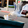 11/9/08<br /> A very non-flattering photo of a seagull going through a dumpster near my house. It was pretty funny to watch, because he kept trying to pick up this cup, but it was hard to reach, so he kept falling in. Then he'd fly back out and stand on the edge and try again. When he finally did pick the cup up, a small piece would break off and the rest would fall back into the dumpster. I did see him eat a greasy piece of paper in between cup attempts.<br /> I watched this for about 5 minutes before I decided one of the photos I took probably came out OK. For all I know he's still out there rooting through the trash...