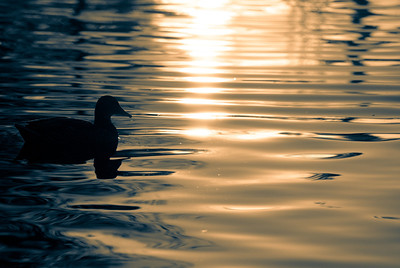1/13/09 Duck in a pond, with nice ripples in the morning light. This image is slightly cropped and I applied the split toning in Lightroom after desaturation. There wasn't much color variety to begin with, so I played around with the hues until I found a combination I liked.