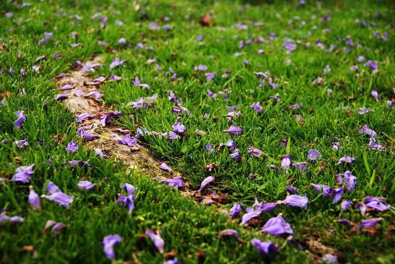 Fallen Jacaranda Blossoms