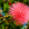 10/29/08<br /> The pink powderpuff tree is in bloom again! I heard it was named after a guy named powderpuff who had very pink skin. If you like technical details, the scientific name is Calliandra haematocephala and it's native to South America. <br /> I'm pretty happy with the bee in this photo. I stood around for a few more minutes hoping for another bee to come along, but it was quite hot in the sun. The midday lighting was pretty harsh, but I'm really happy with the way the background turned out. The blue splotches is the sky and the reddish splotches are more of these flowers.