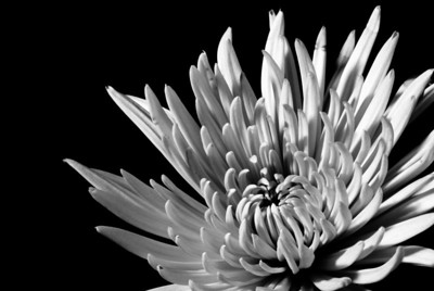 1/18/09 Chrysanthemum macro, taken from some flowers we picked up earlier today. Used an external flash and a white piece of paper as a reflector. Played around with curves and contrast in Lightroom, too.