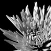 1/18/09<br /> Chrysanthemum macro, taken from some flowers we picked up earlier today. Used an external flash and a white piece of paper as a reflector. Played around with curves and contrast in Lightroom, too.