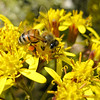 2/11/09<br /> Bee on some flowers, shot with my compact. I got this shot by brute force, taking about 30 shots and hoping one came out OK. My favorite part of this shot is how sharp the left wing came out. <br /> <br /> In other news, my wife and I are going to Joshua Tree National Park this weekend - we've never been there. Any recommendations from those who have?