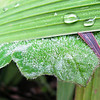 Drops on Fuzzy Leaf