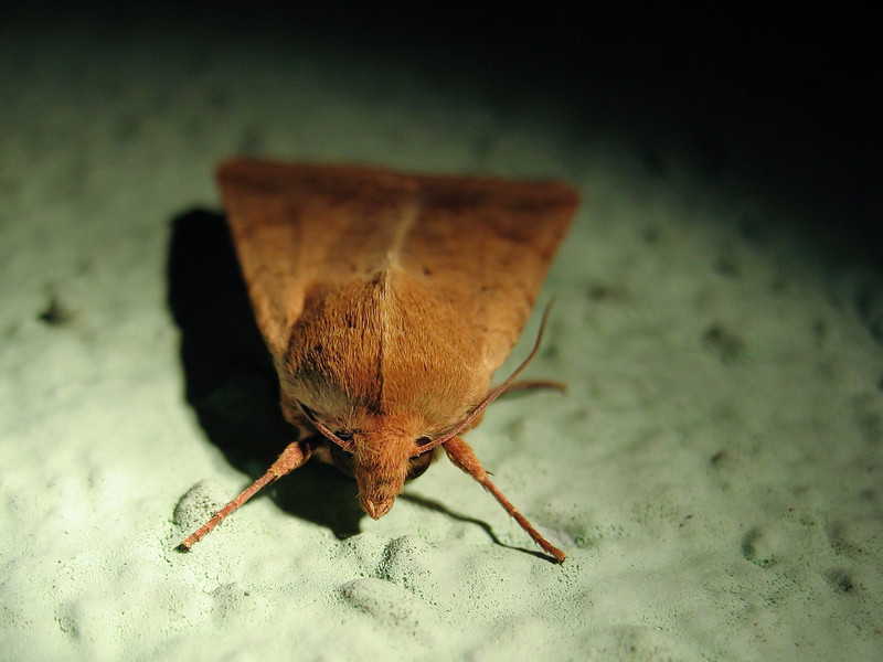 10/4/08<br /> Moth under a porchlight. Another end-of-the-day desperation shot. I've had a lot of those lately...