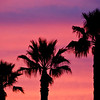 11/8/08<br /> The Southland: more palm trees in more places.<br /> I went running today for the first time in weeks around sunset. I walked the last part and enjoyed the beautiful pink sunset, thinking I wish I had my camera. To my surprise, it was still quite lovely and colorful by the time I got home, so I grabbed my camera and went out to the street where there's a row of palm trees. I could only frame 3 of them without getting lampposts or street signs in the comp. Although I increased the contrast on this, the colors are pretty much what my eyes saw. <br /> I used a tripod for the long shutter speed, but I just realized I forgot to turn off the VR on my lens. Oops. Still turned out pretty sharp though!