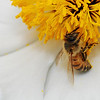 5/9/08<br /> It's been a while since I've had a bee-on-flower photo, so here you go. I cropped the image to emphasize the widdle bee and did some contrast with curves. I used a flash with this shot which really helped the exposure turn out well - I didn't have to change the levels to make the blacks black and whites white, they were already where they should be.